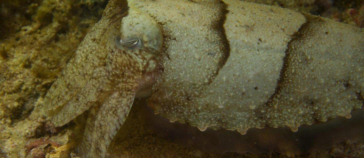 Cuttlefish Sepia pharaonsis