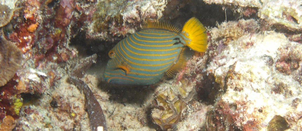 Juvenile Orangestriped Triggerfish Balistapus undulatus