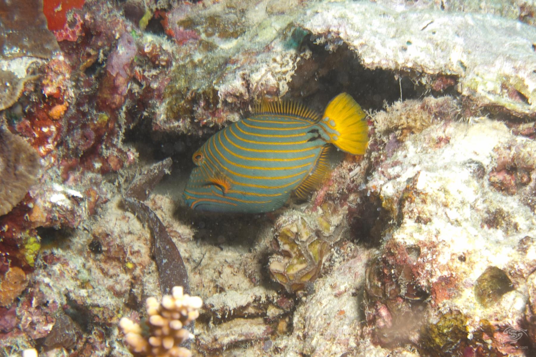 Juvenile Orangelined Triggerfish Balistapus undulatus