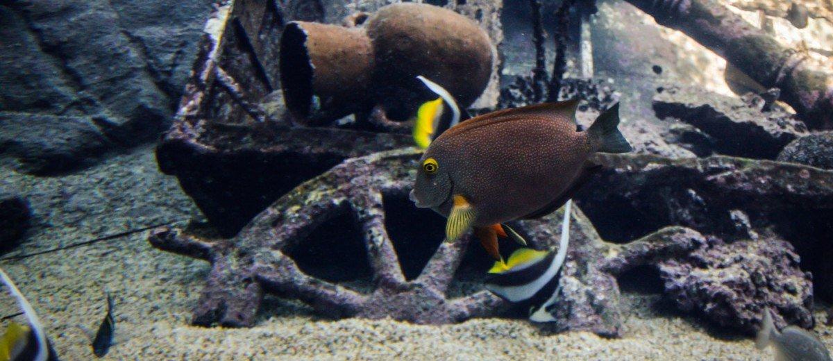 lined bristletooth surgeonfish