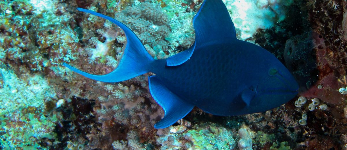 Red fang triggerfish