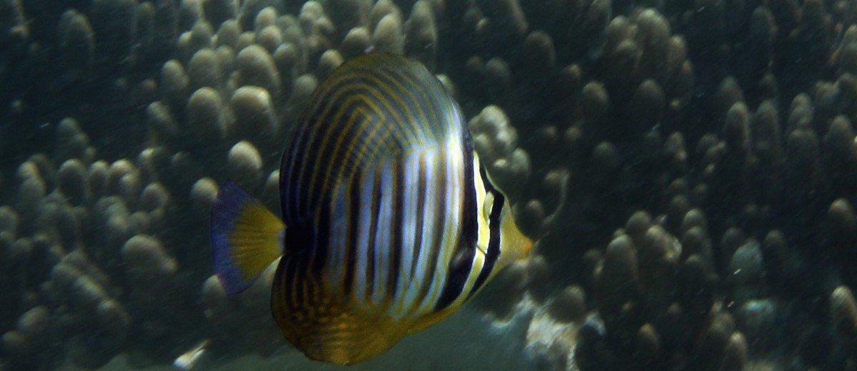 salfin tang
