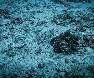 Shape Shifting Octopus