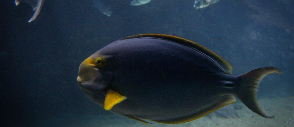 yellow fin tang
