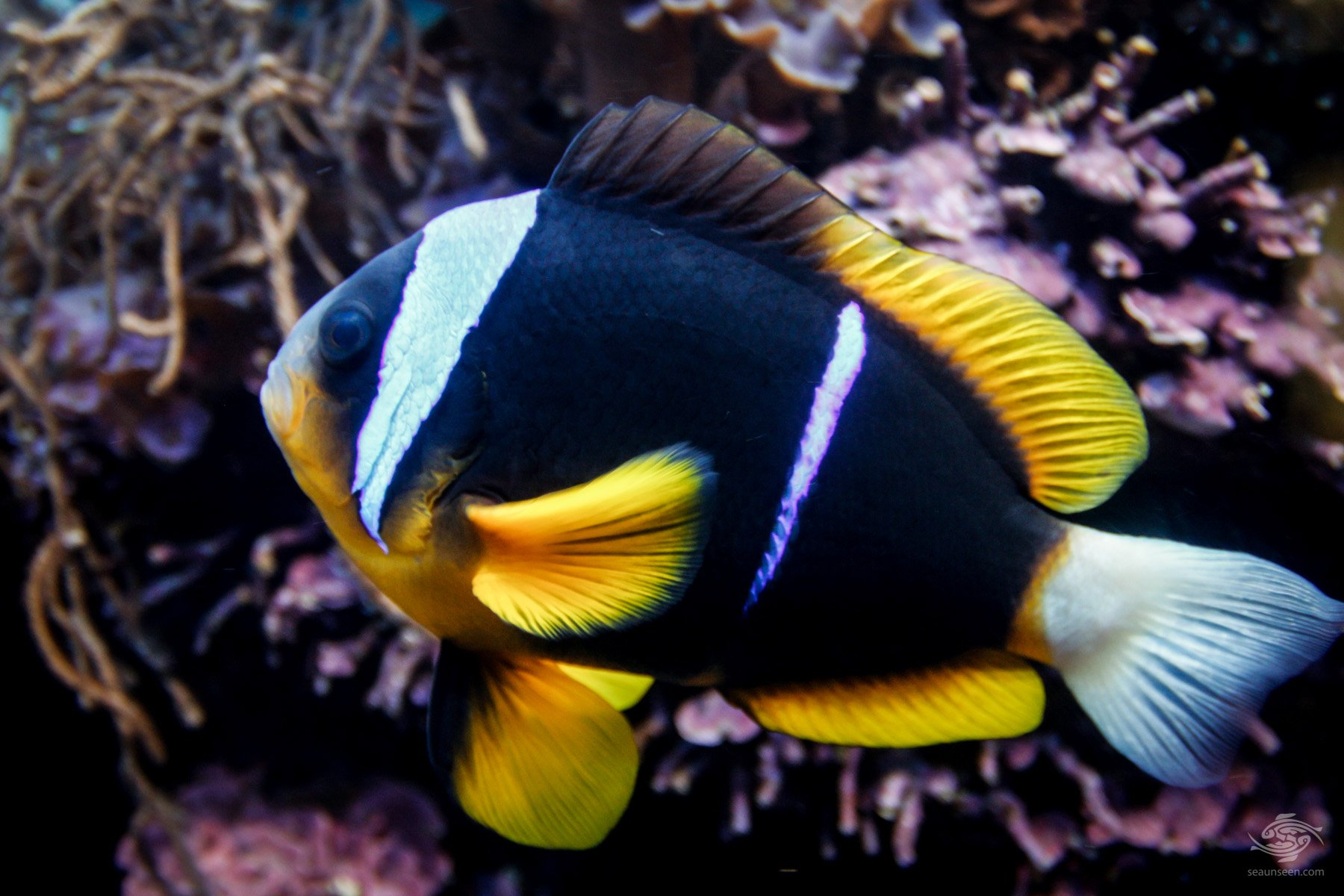 An Allards Clown fish Amphiprion allardi