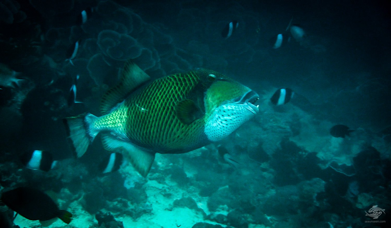 Attack Triggerfish