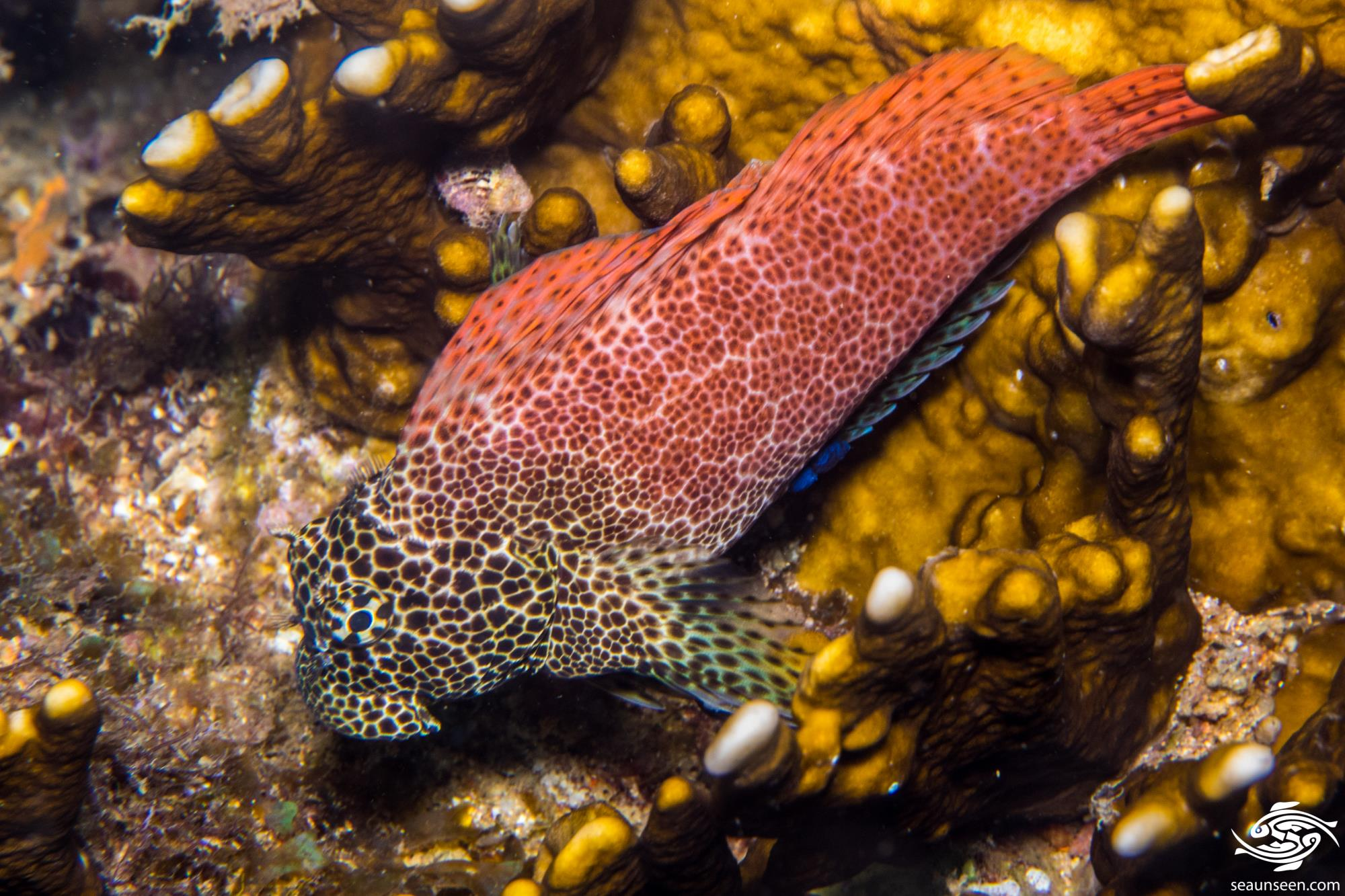 Male Leopard blenny (Exallias brevis)