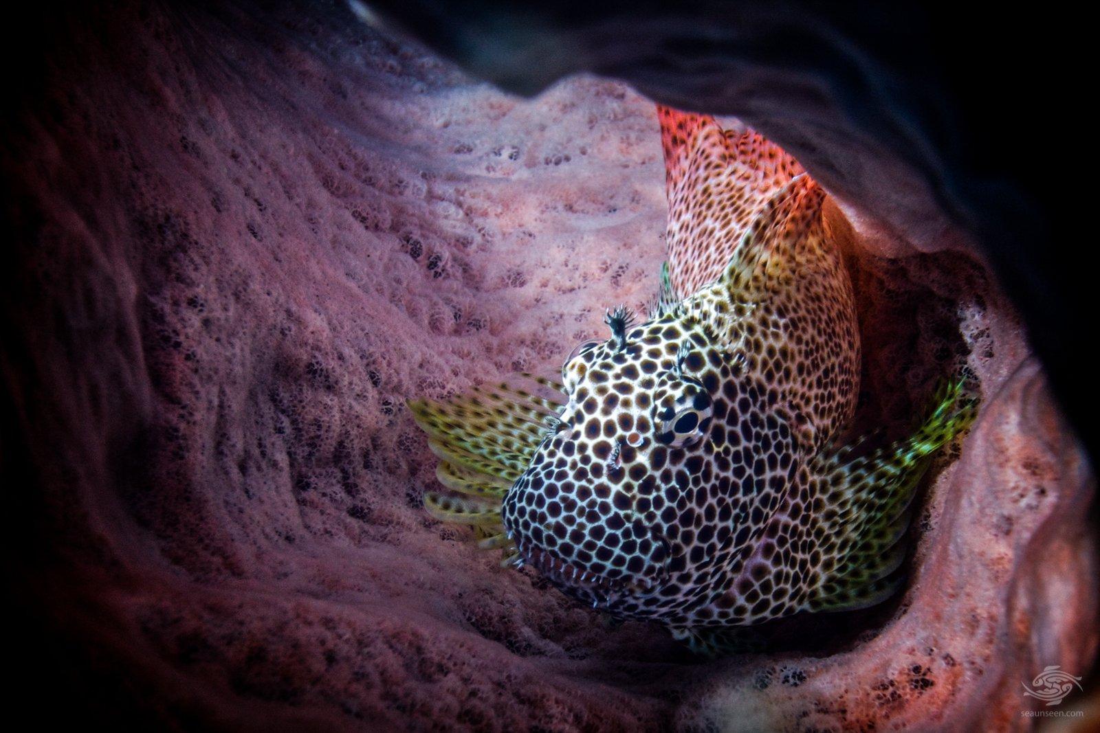 Leopard blenny (Exallias brevis)