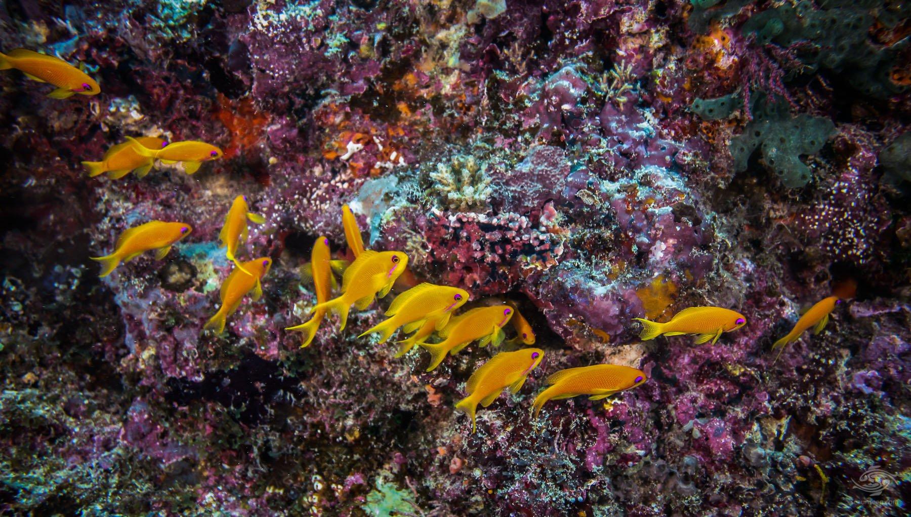 Female Sea Goldies