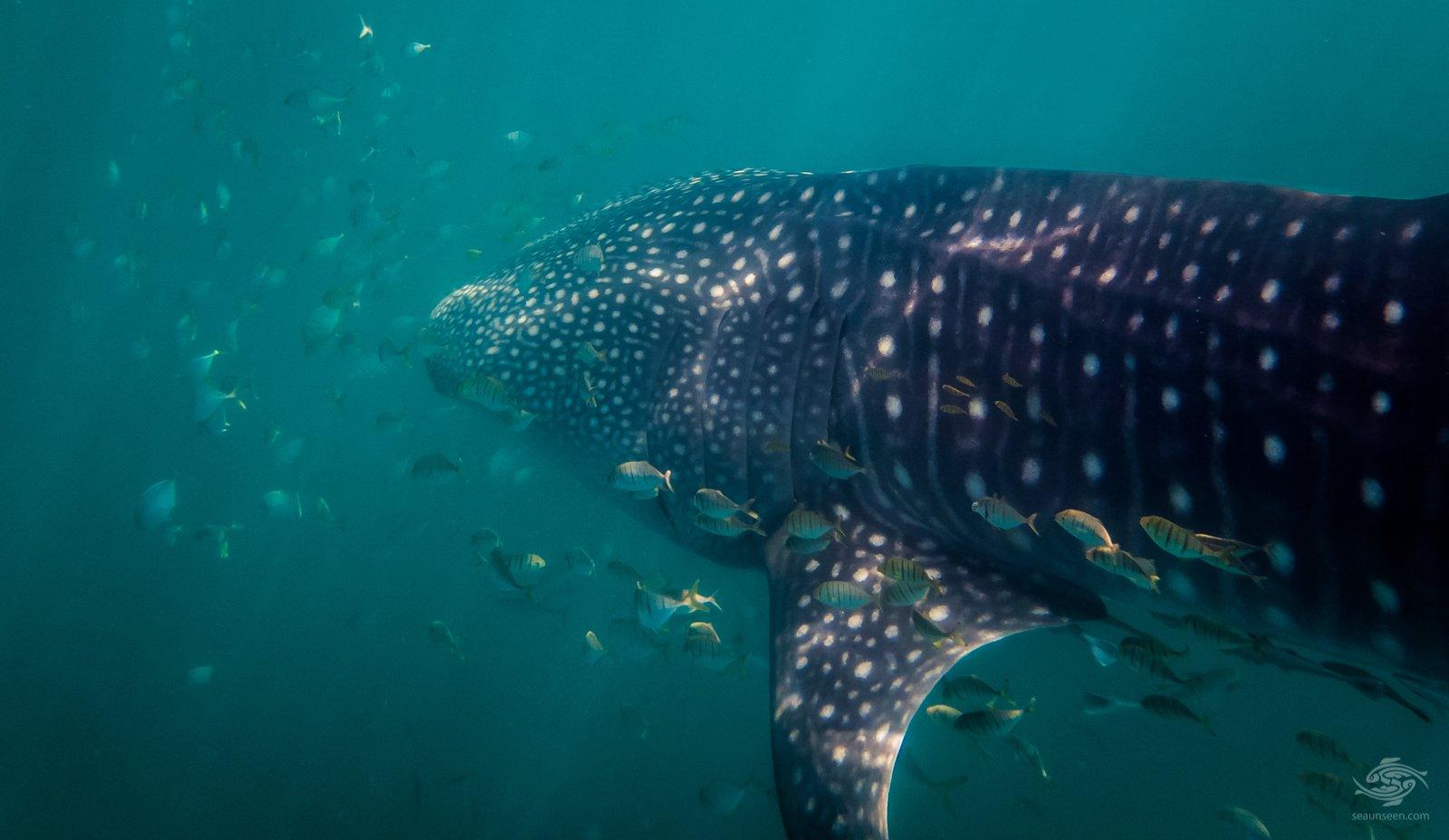 whale shark mafia island with juvenile golden trevally