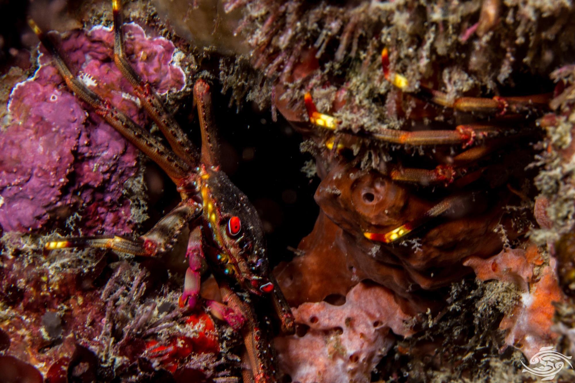 flat-bodied crab (Percnon planissimum)