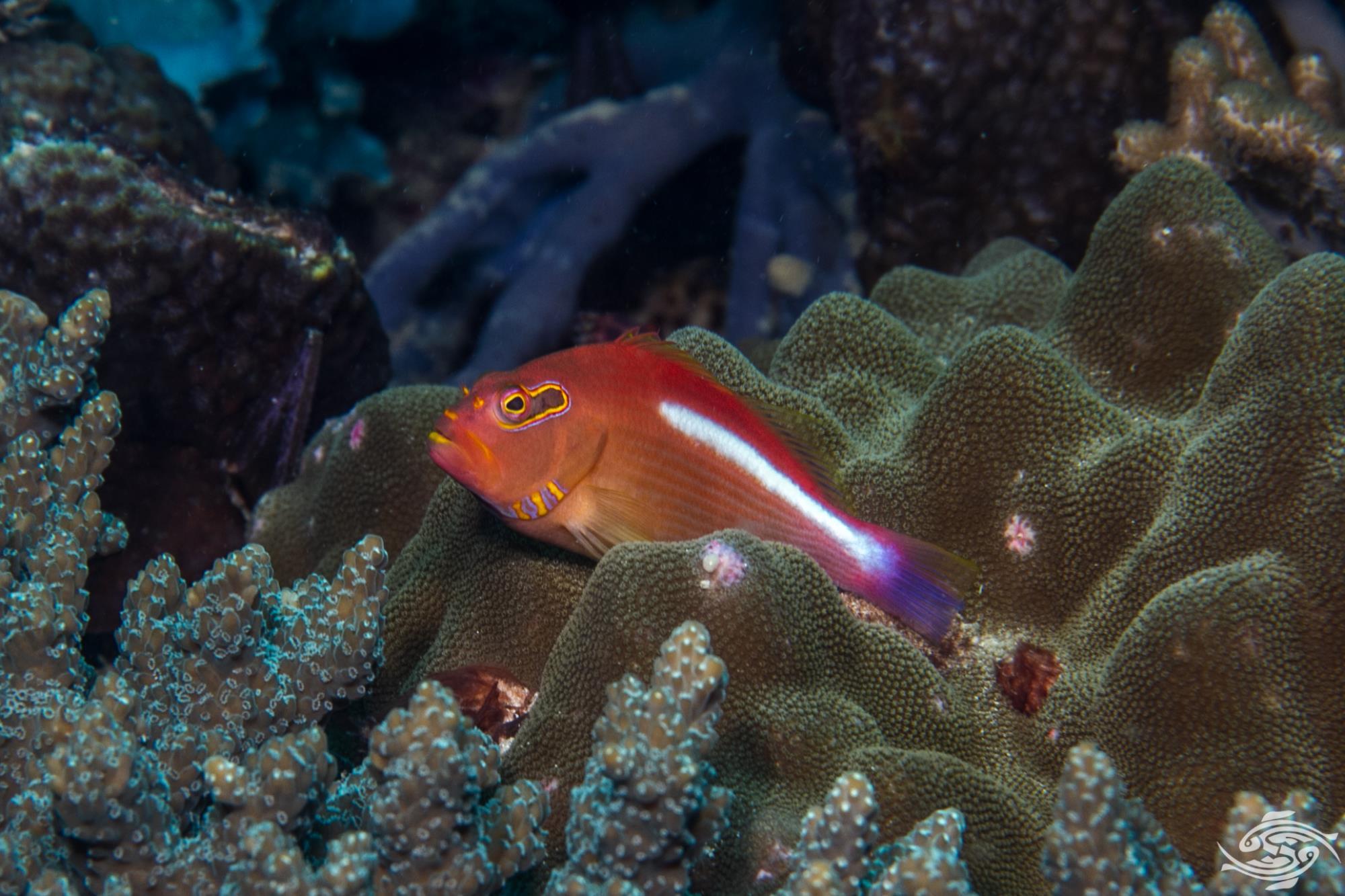 Arc-eye hawkfish (Paracirrhites arcatus