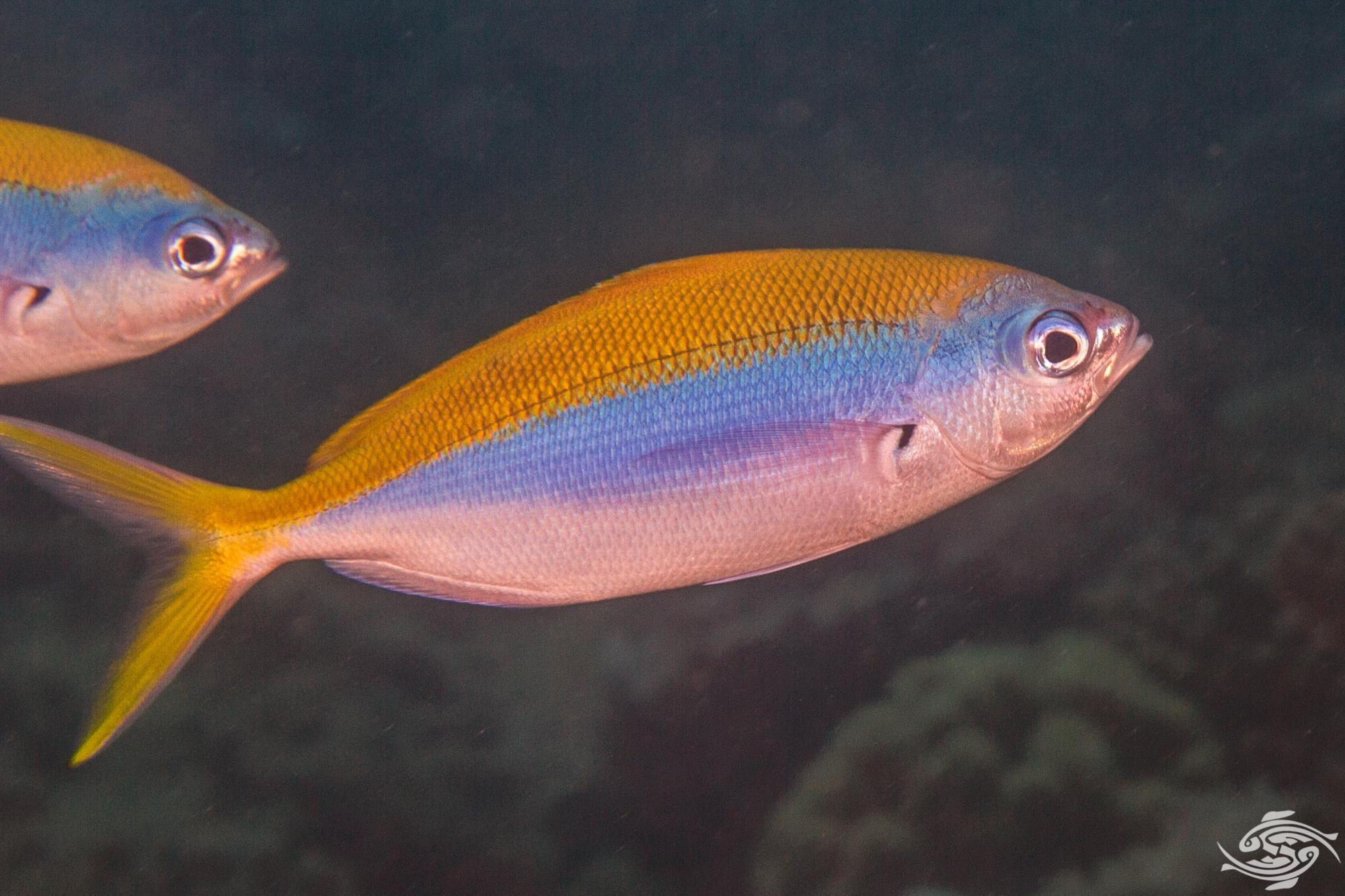 yellowbackfusilier (Caesio xanthonota)