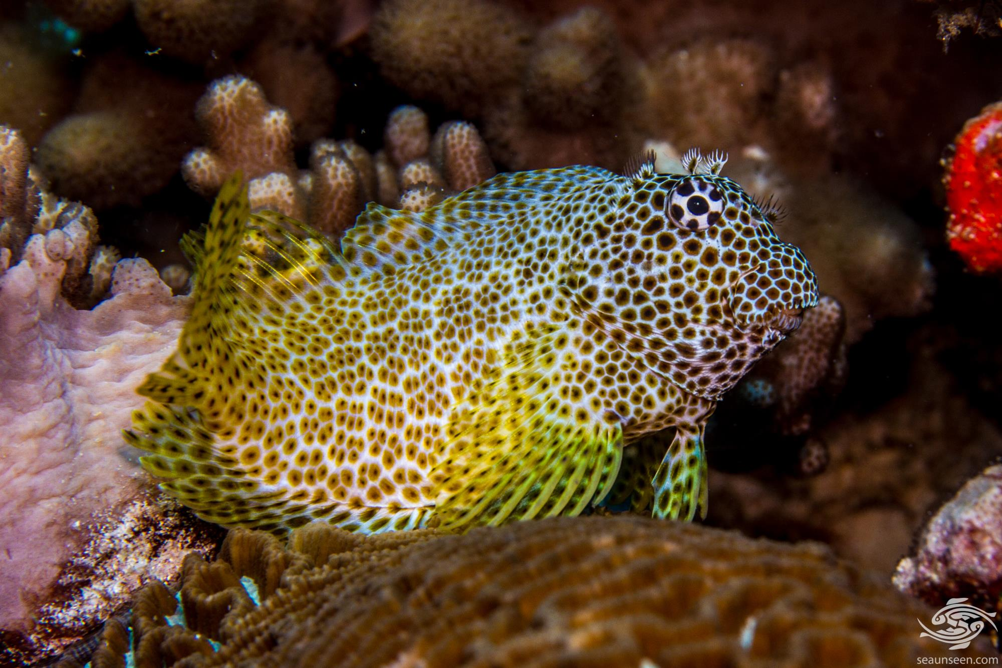 leopard blenny (Exallias brevis) also known as the pink-spotted blenny, shortbodied blenny and honeycomb blenny