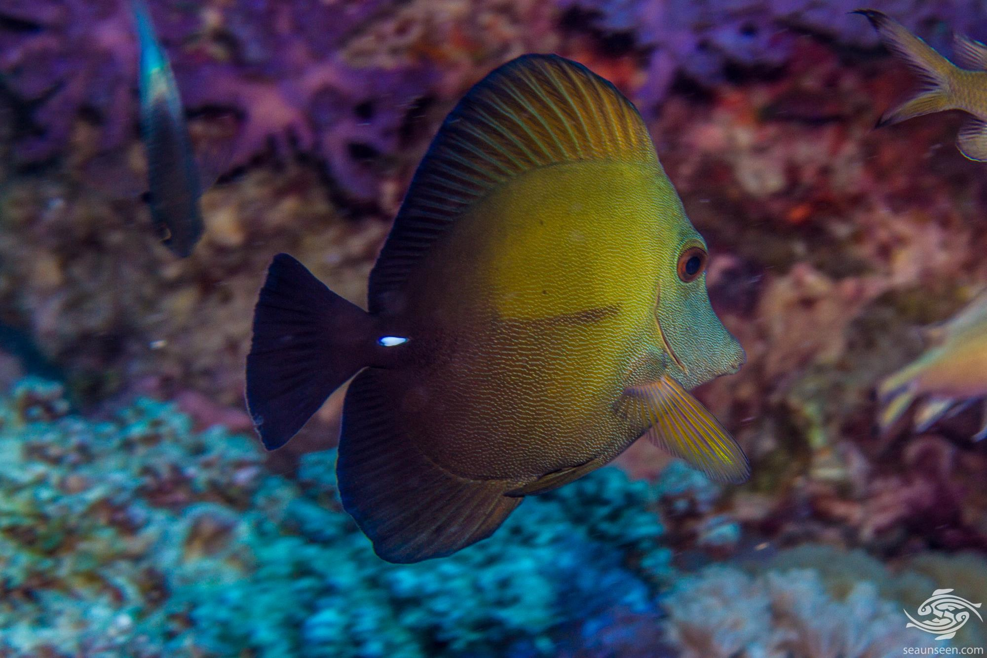 Scopas Tang (Zebrasoma scopas) is also known as the Twotone Tang, the Brown Tang and the Brushtail Tang