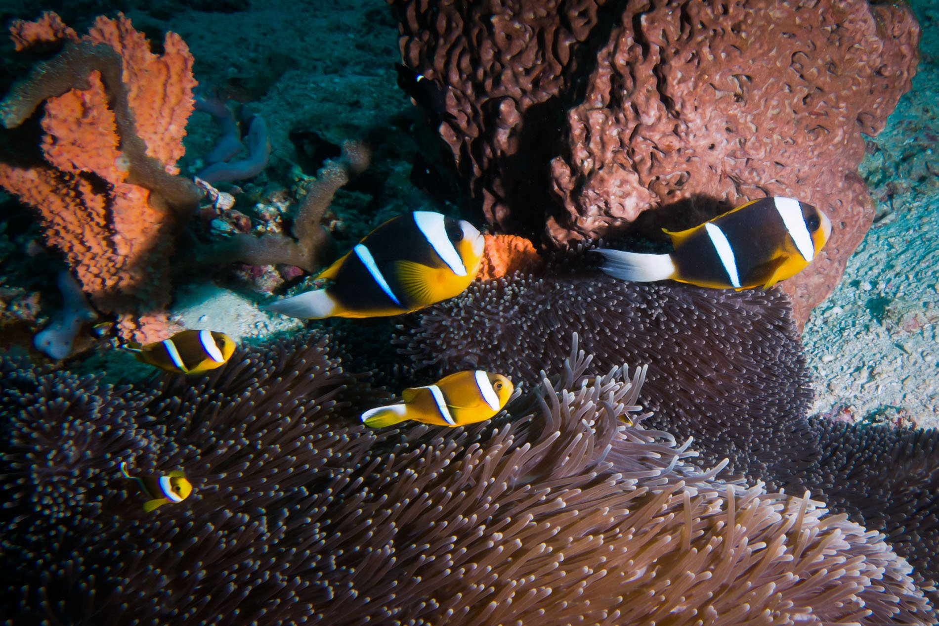 Family of Allards Clown fish Amphiprion allardi