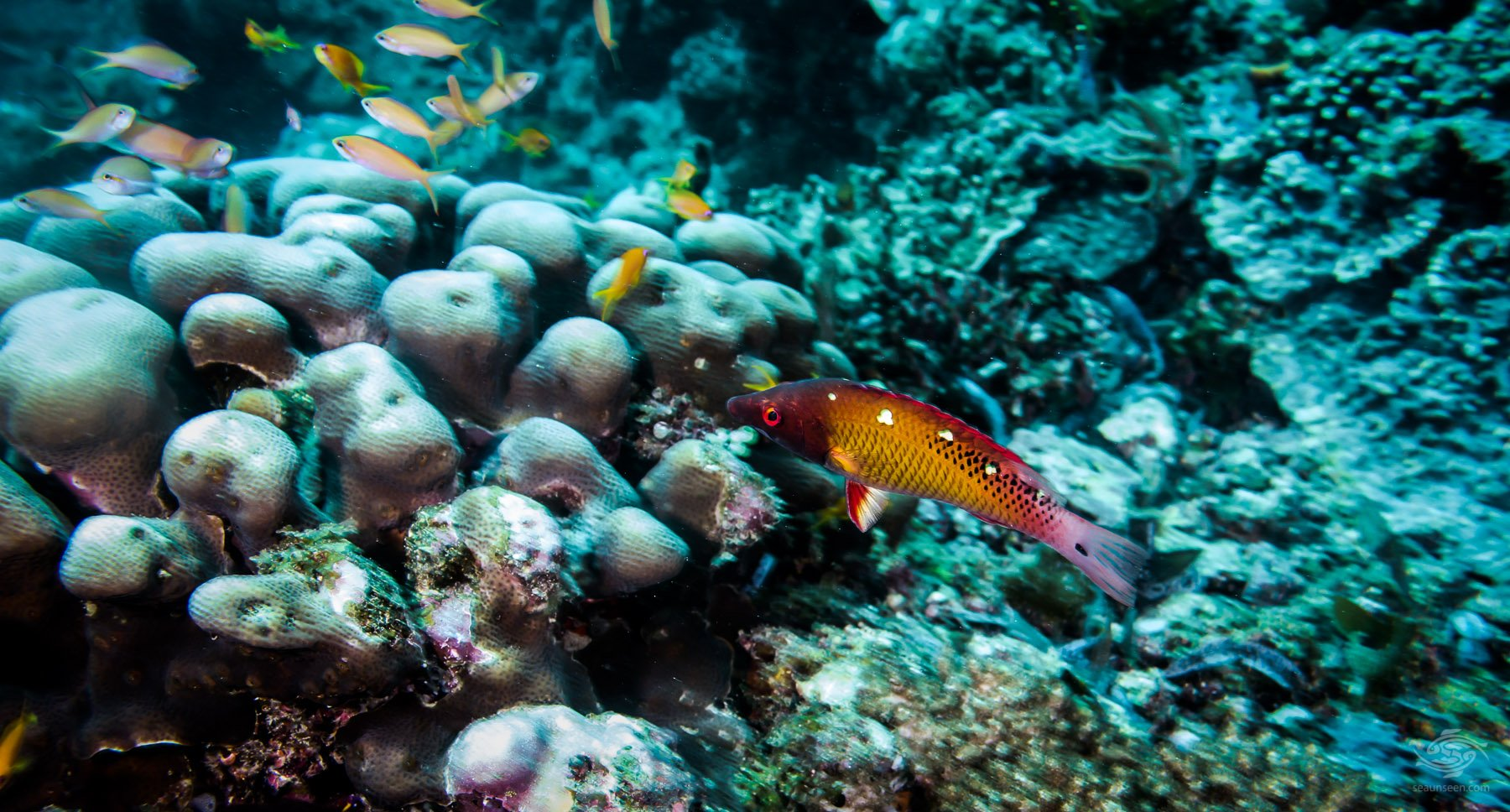 Red Diana Hogfish (Bodianus diana)