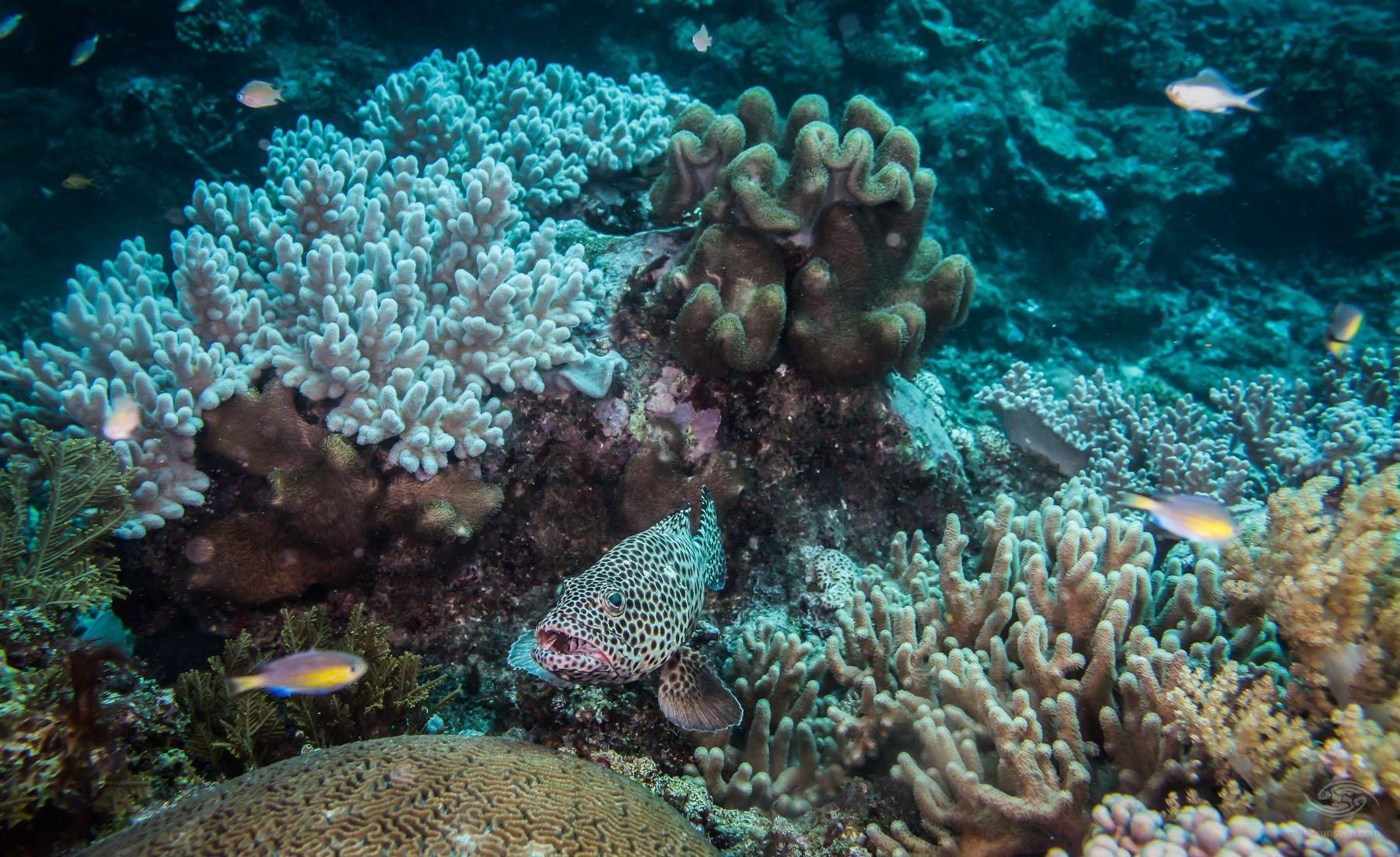 Greasy Rock Cod Epinephelus tauvina