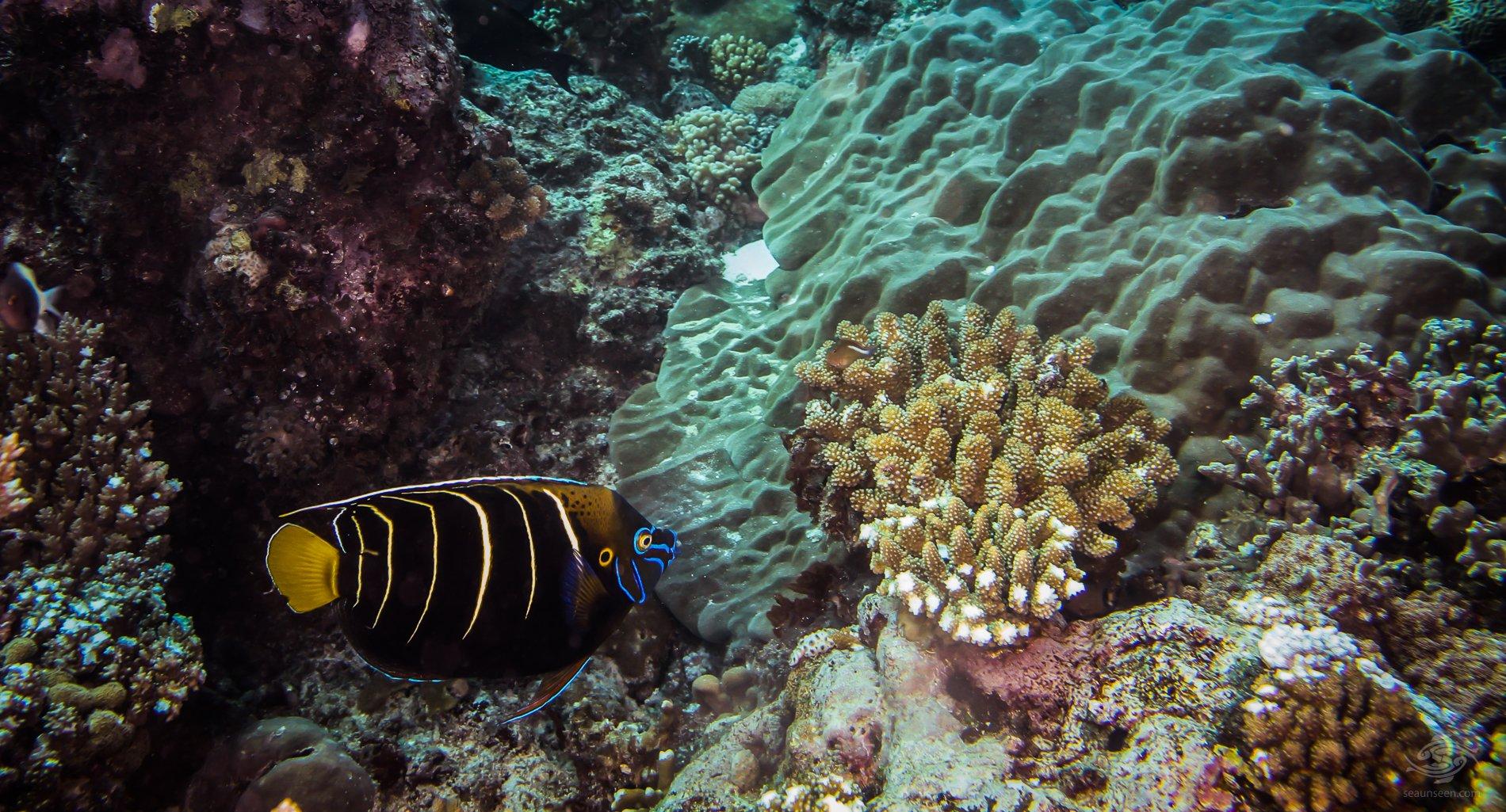 Goldtail Angelfish