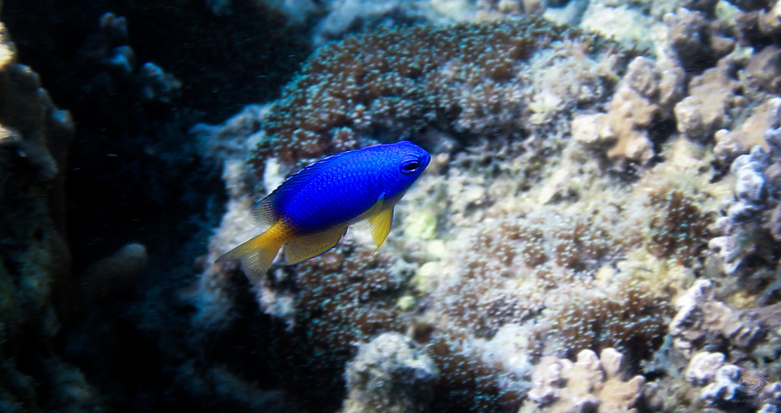 Caerulean damselfish seaunseen for 13 fishing freefall
