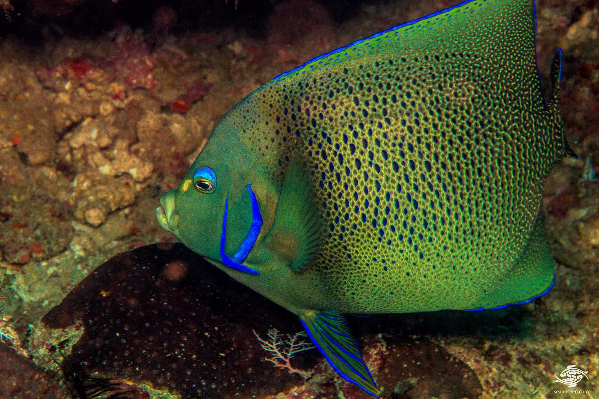 Koran angelfish (Pomacanthus semicirculatus) is also known as the Blue angelfish or Semicircle angelfish