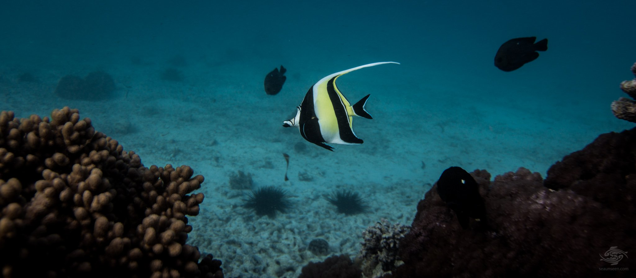 The moorish idol (Zanclus cornutus) is both stunning in its shape and in its coloration and also in the manner in which they swim, often twisting sideways with its long dorsal fin trailing behind it. Its highly unusual disk-like shape along with the stunning combination of yellow, black and white sections make it unusual and unmistakable as one of the most beautiful fish on earth.