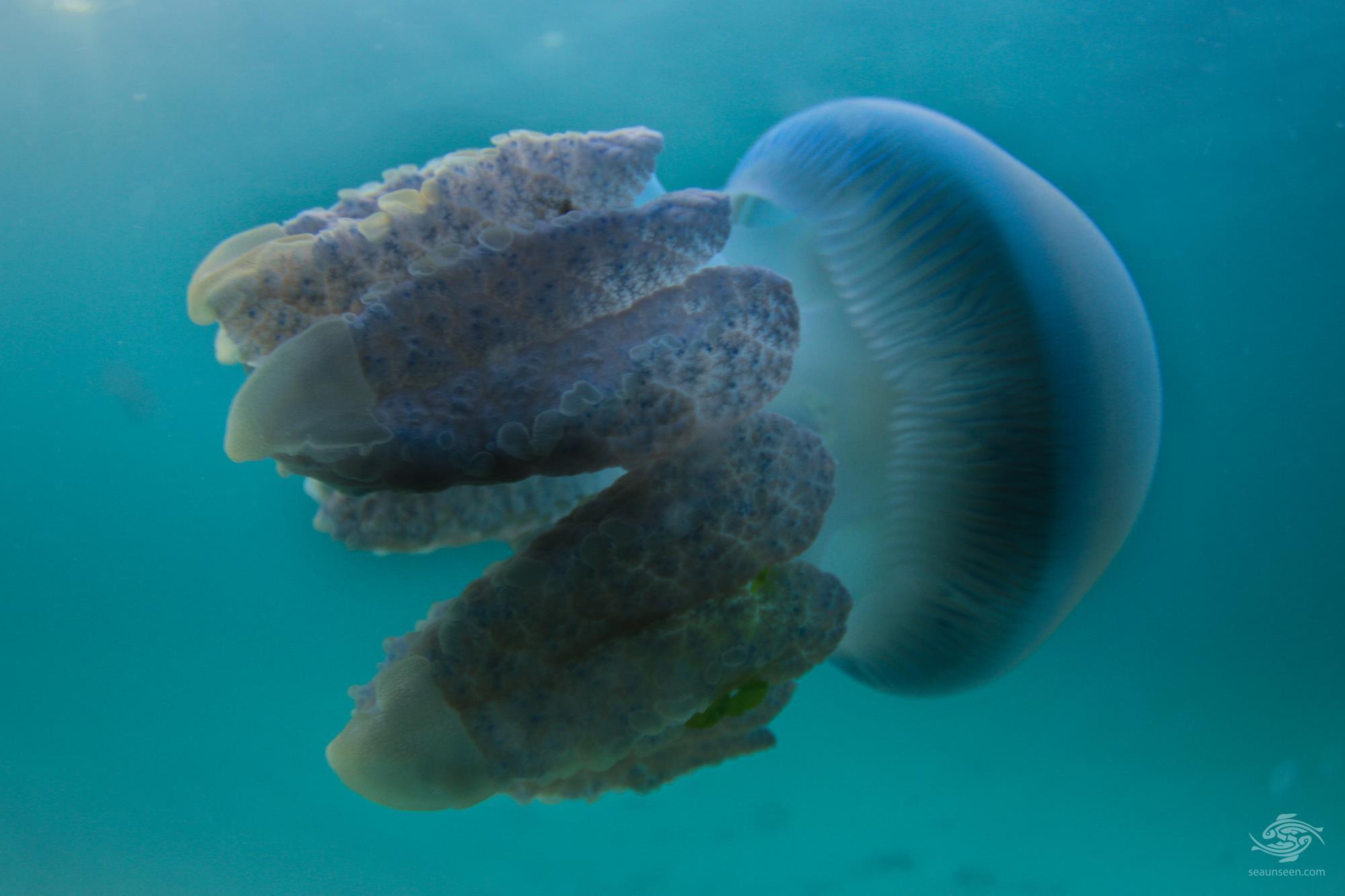blue blubber jellyfish (Catostylus mosaicus)