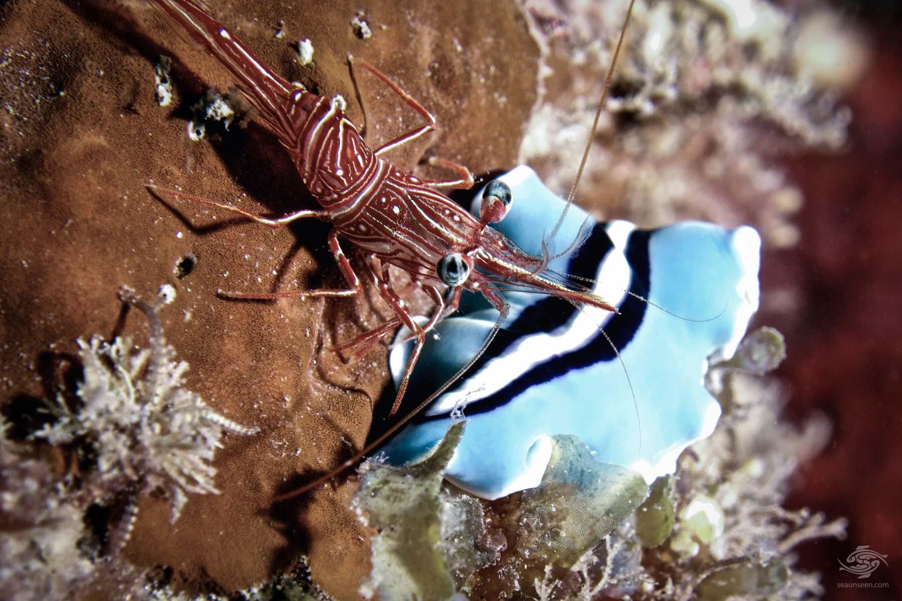 Shrimp Flatworm
