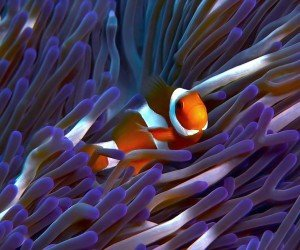 Clownfish Amphiprion ocellaris