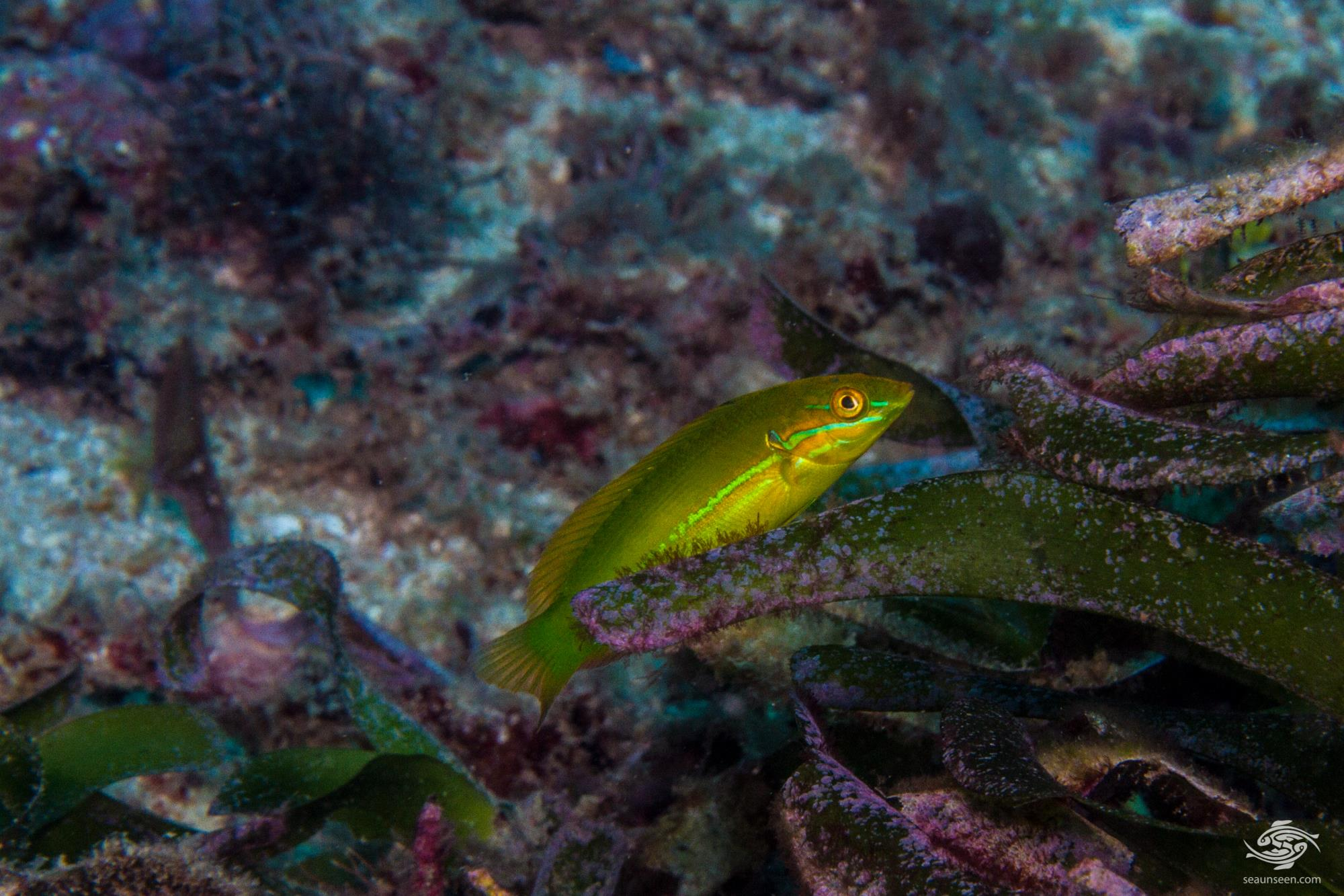 Possible color variation of Spot-tail Wrasse, Coris caudimacula or new species