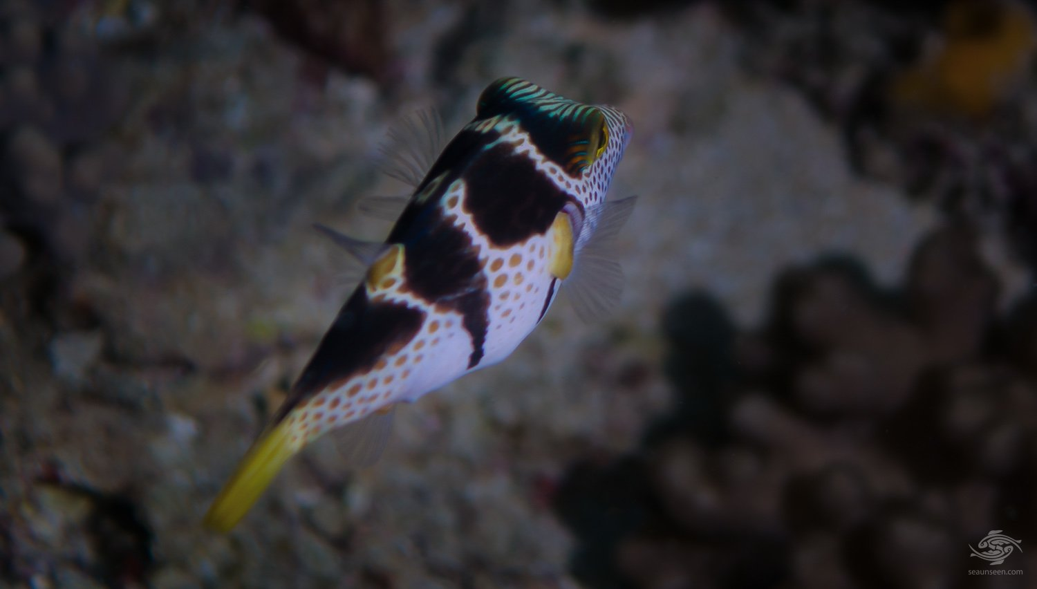 black saddled toby (Canthigaster Valentini)