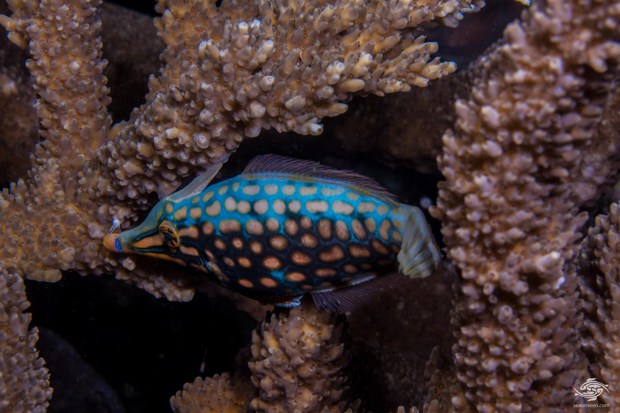 orange spotted filefish or harlequin filefish, Oxymonacanthus longirostris,