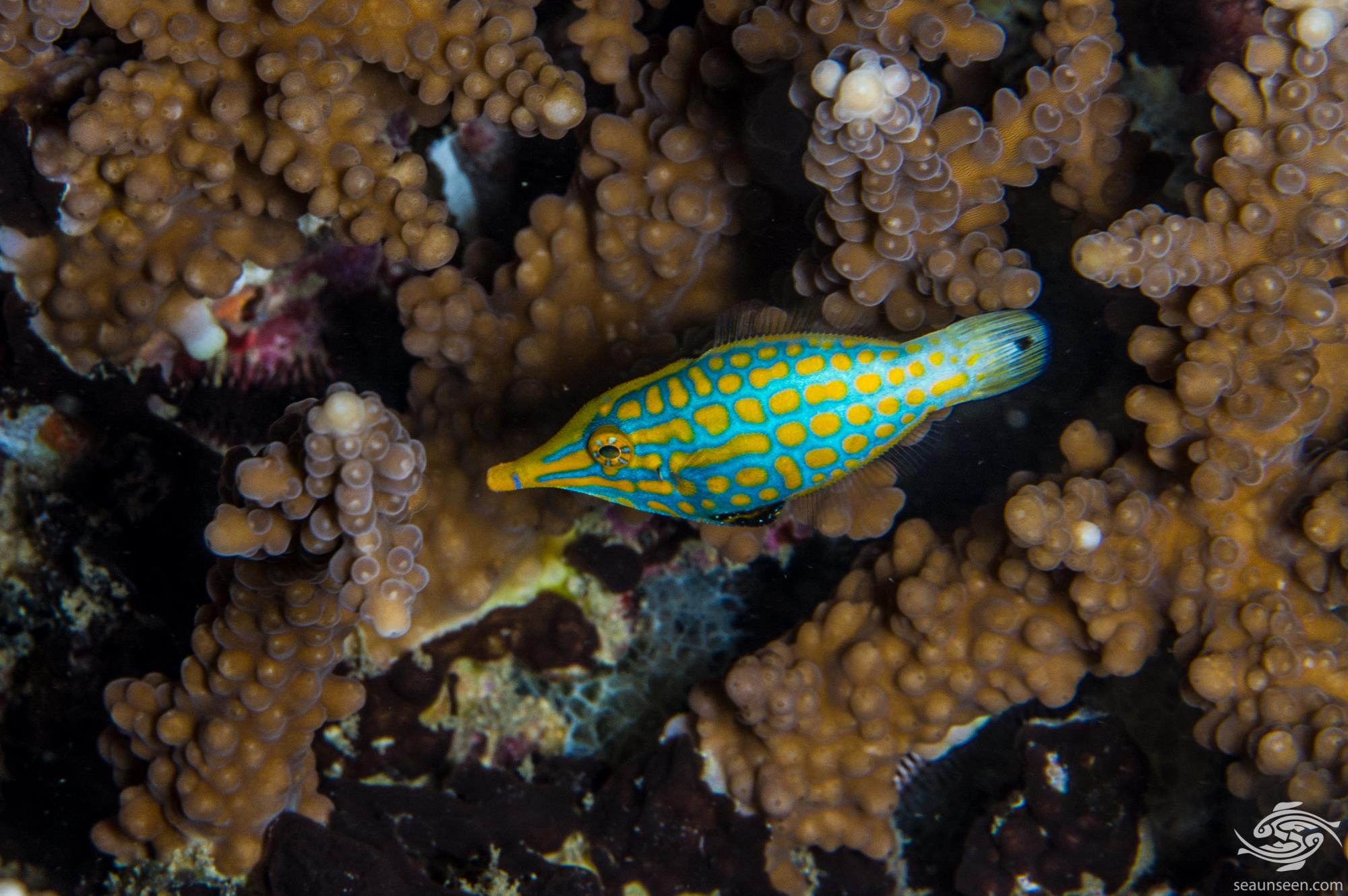 orange spotted filefish or longnose filefish (Oxymonacanthus longirostris)