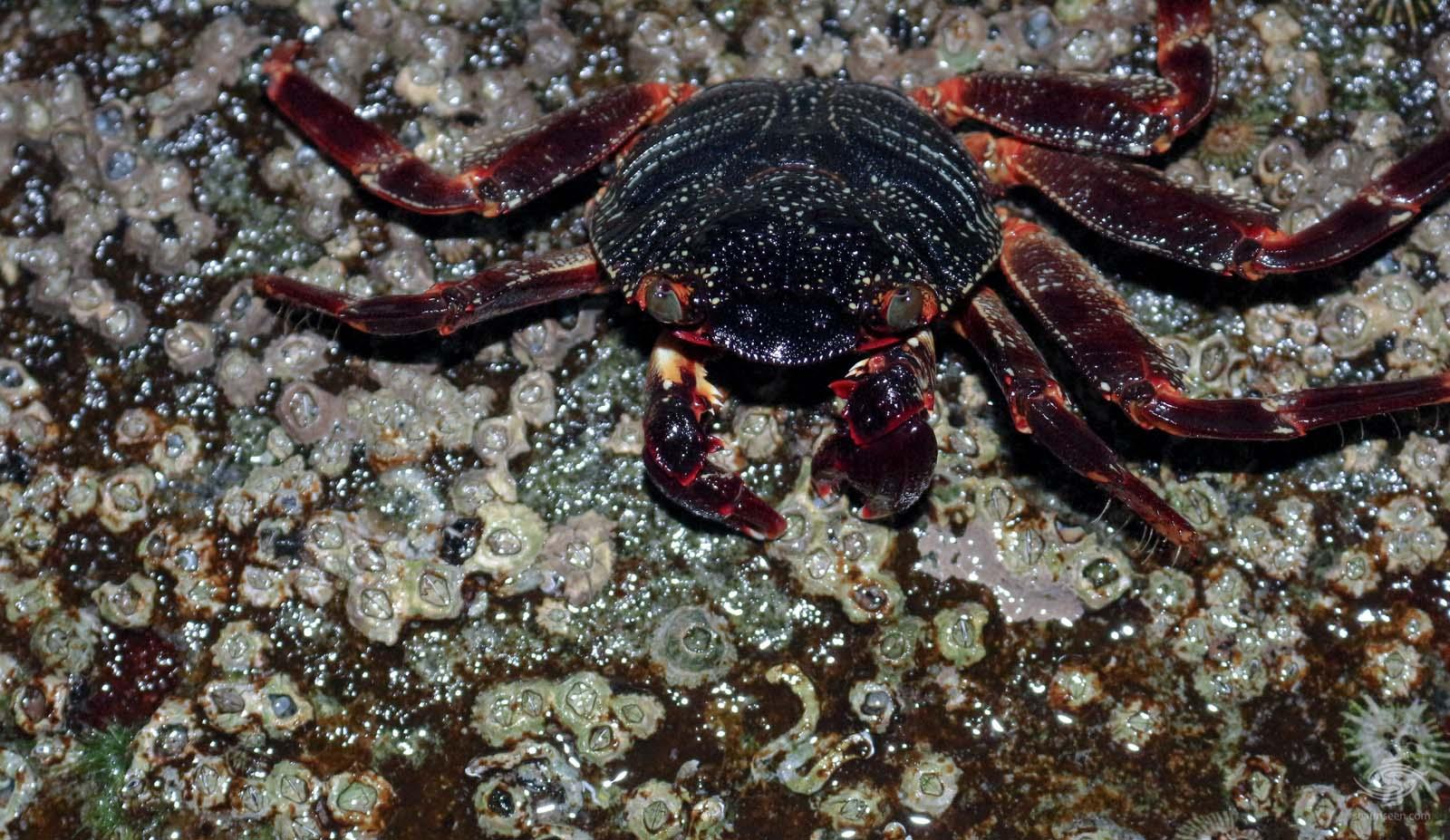 natal lightfoot crab (Grapsus grapsus tenulcrustatus)