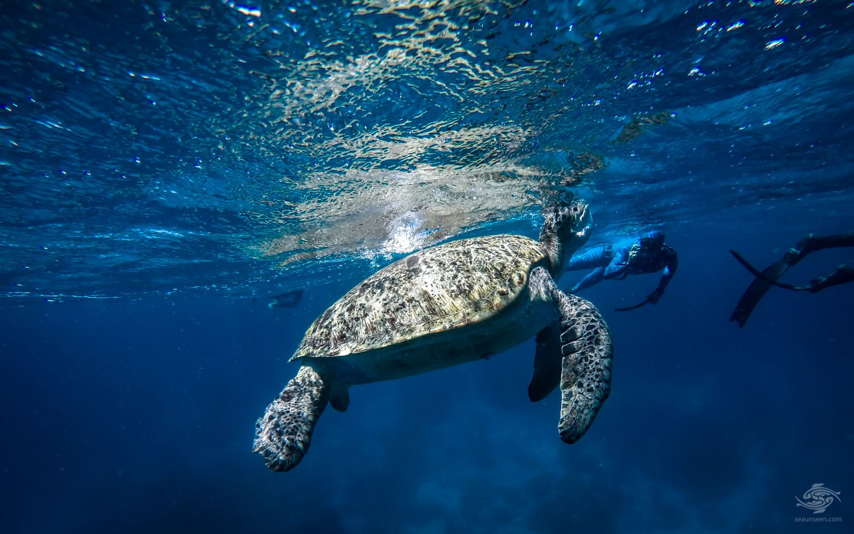 sea turtle red sea