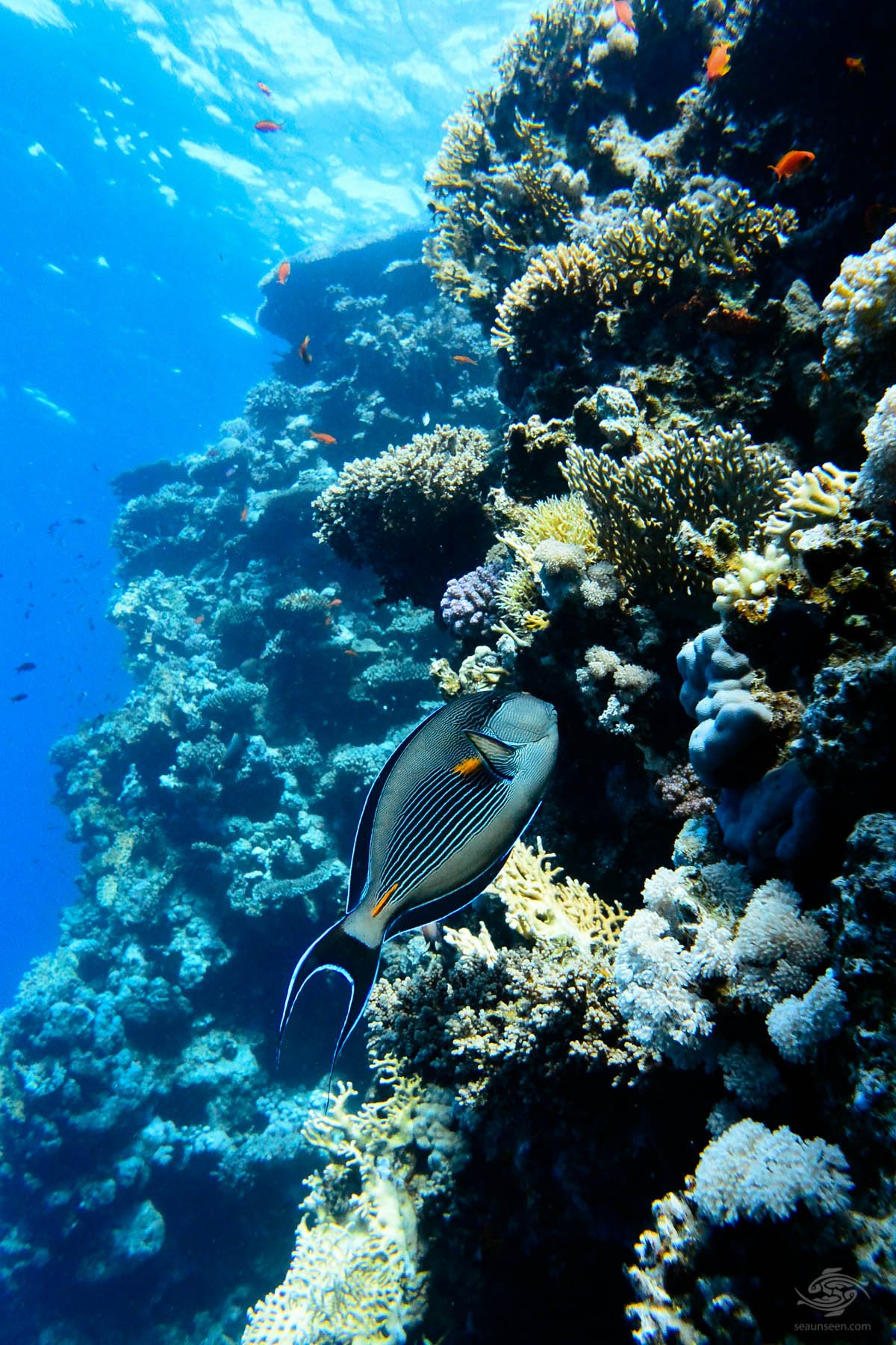 diving africa Red Sea Endemic