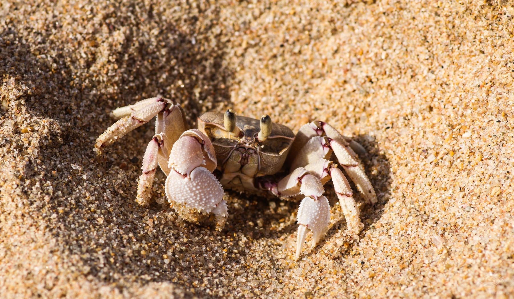 A pink ghost crab Ocypode ryderi
