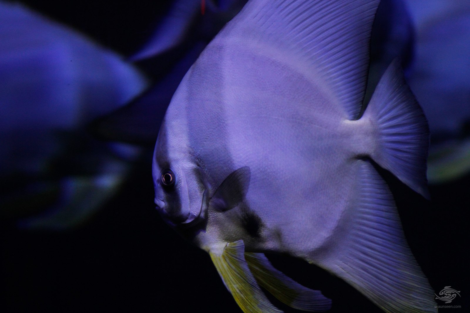 A Longfin batfish, Platax teira