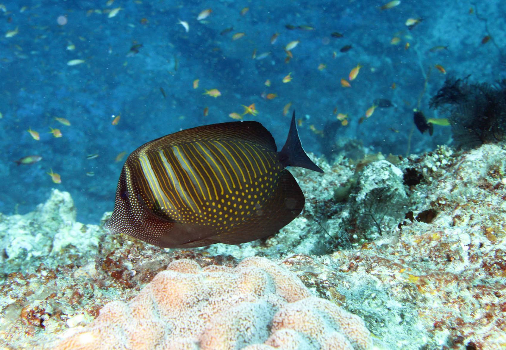 An adult Sailfin Tang on Dindini Wall Mafia Island Marine Park diving Tanzania