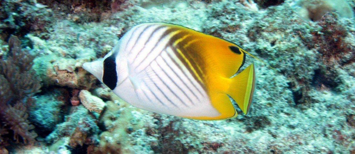 A Threadfin butterflyfish, Chaetodon auriga
