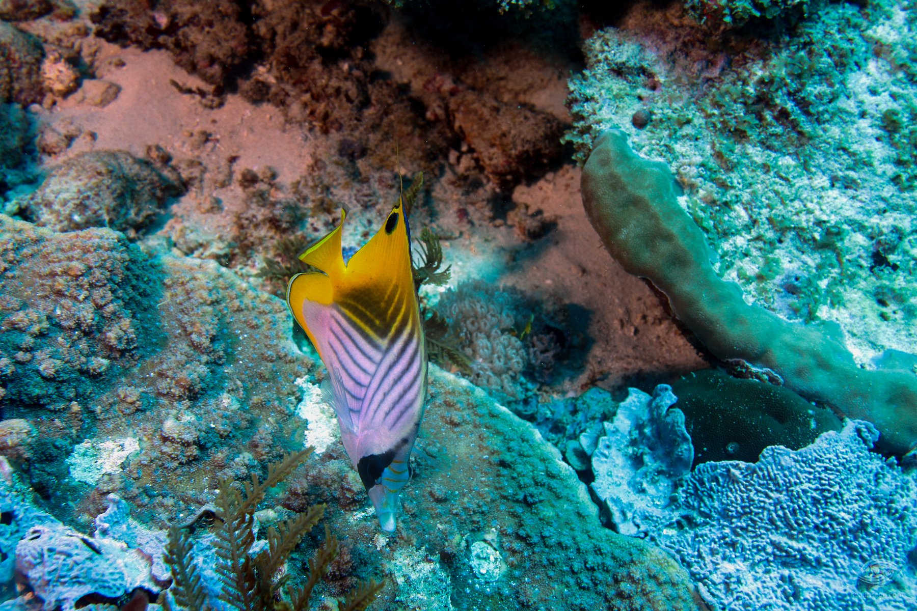 A threadfin butterflyfish, Chaetodon auriga