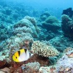A middle saddleback butterflyfish, Chaetedon falcula