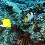 A long nose butterfly fish Forcipiger flavissimus on the left with a saddleback butterfly fish Chaetadon falcula on the right