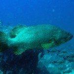 Giant grouper Epinephelus lanceolatus named Jesus in Mafia Island Marine Park