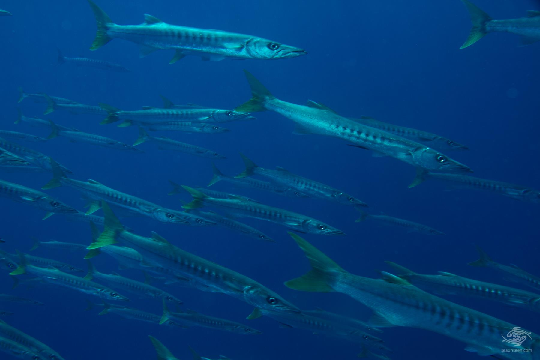 A shoal of sawtooth barracuda Sphyraena putnamae