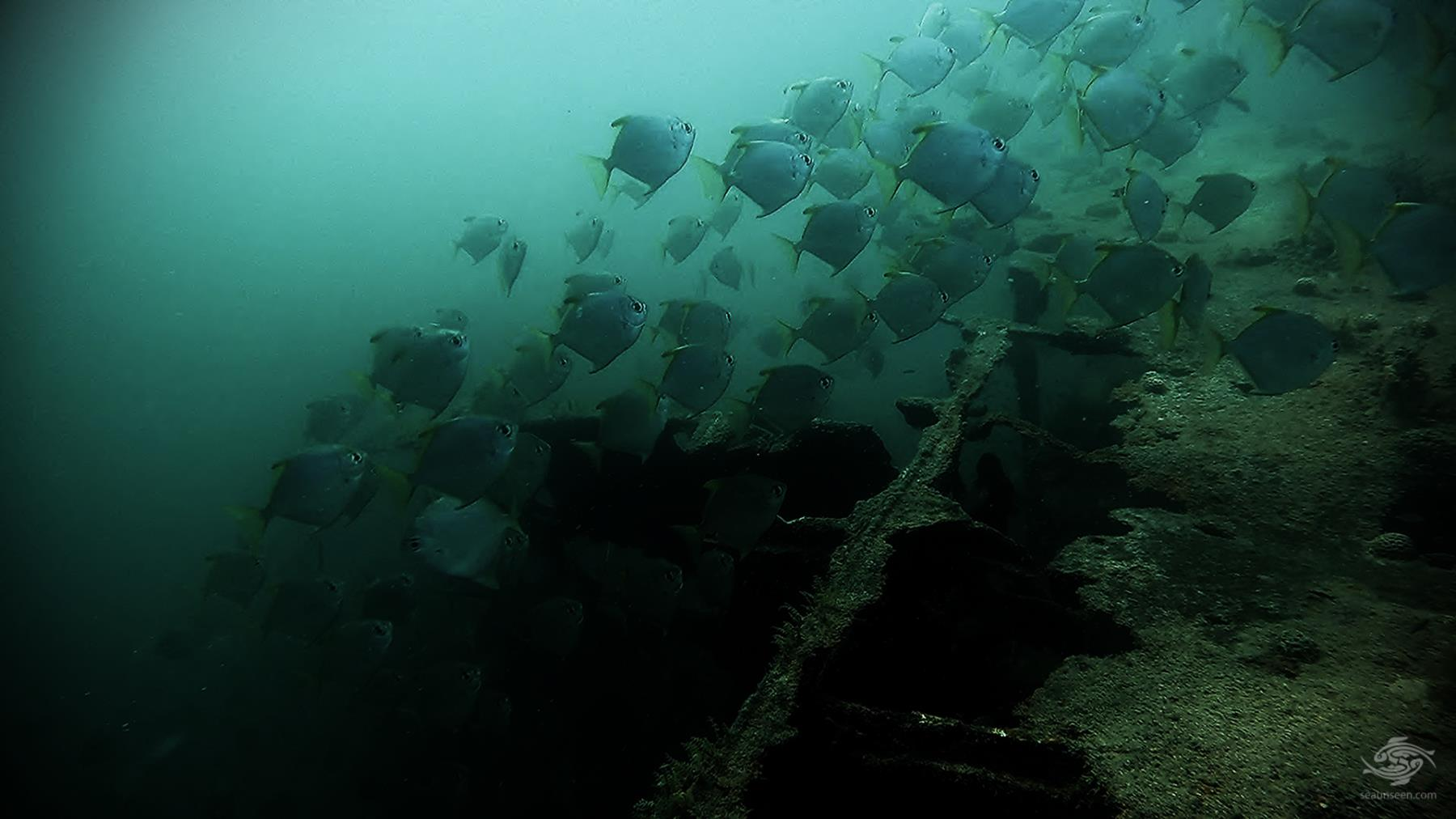 A shoal of juvenile caranx on the wreck