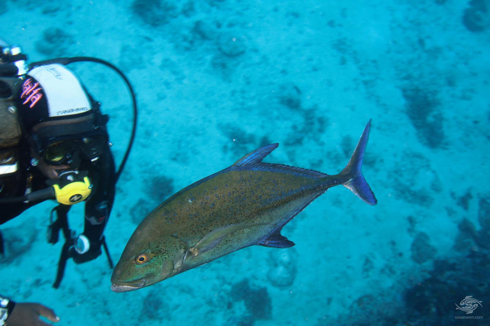 Bluefin trevally Caranx melampygus with diver