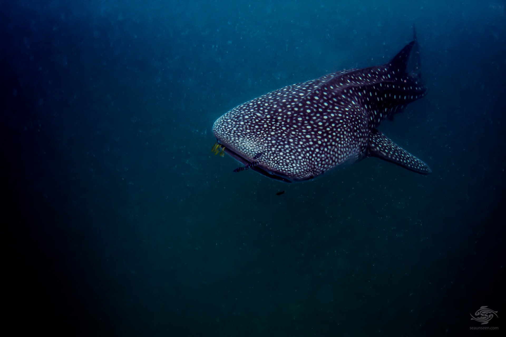 Whale shark off Mafia Island diving Tanzania