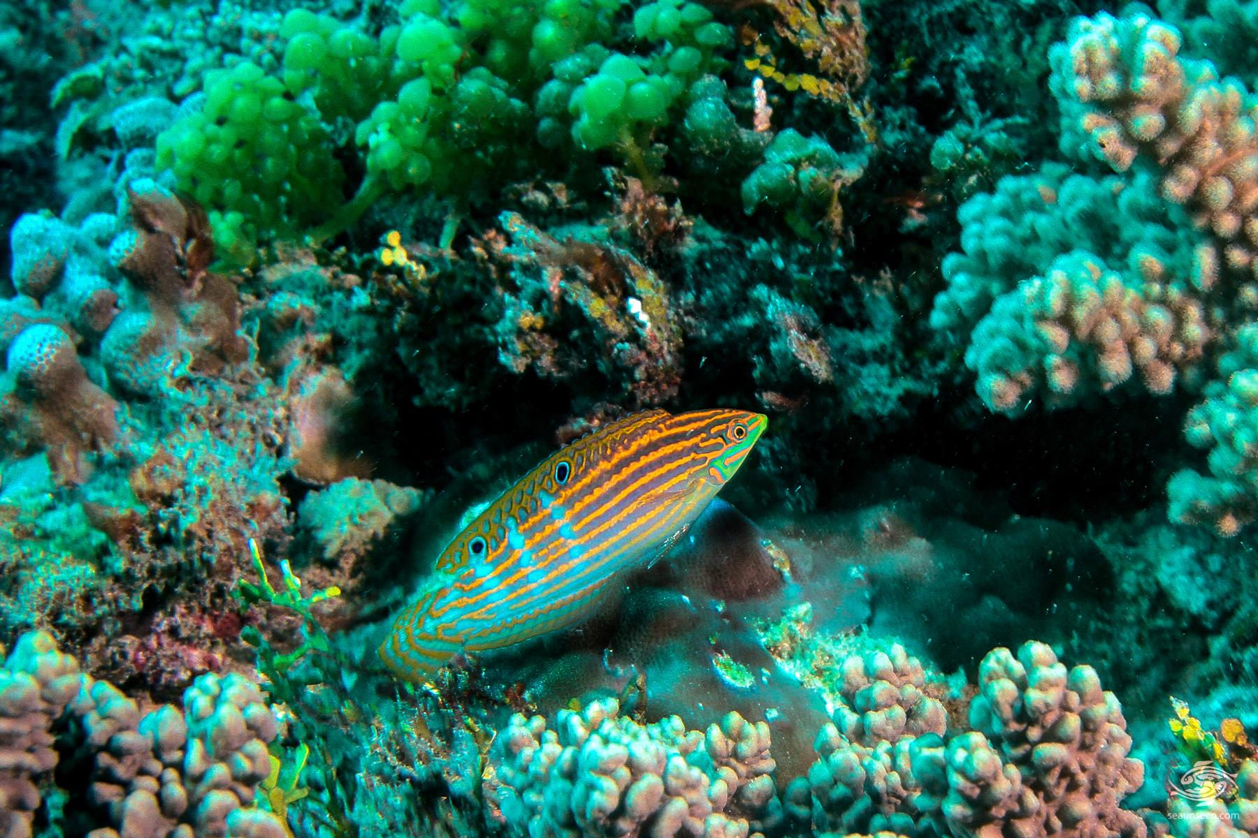 A juvenile Adorned wrasse ( Halichoeres cosmetus) at Powoni near Paje in Zanzibar