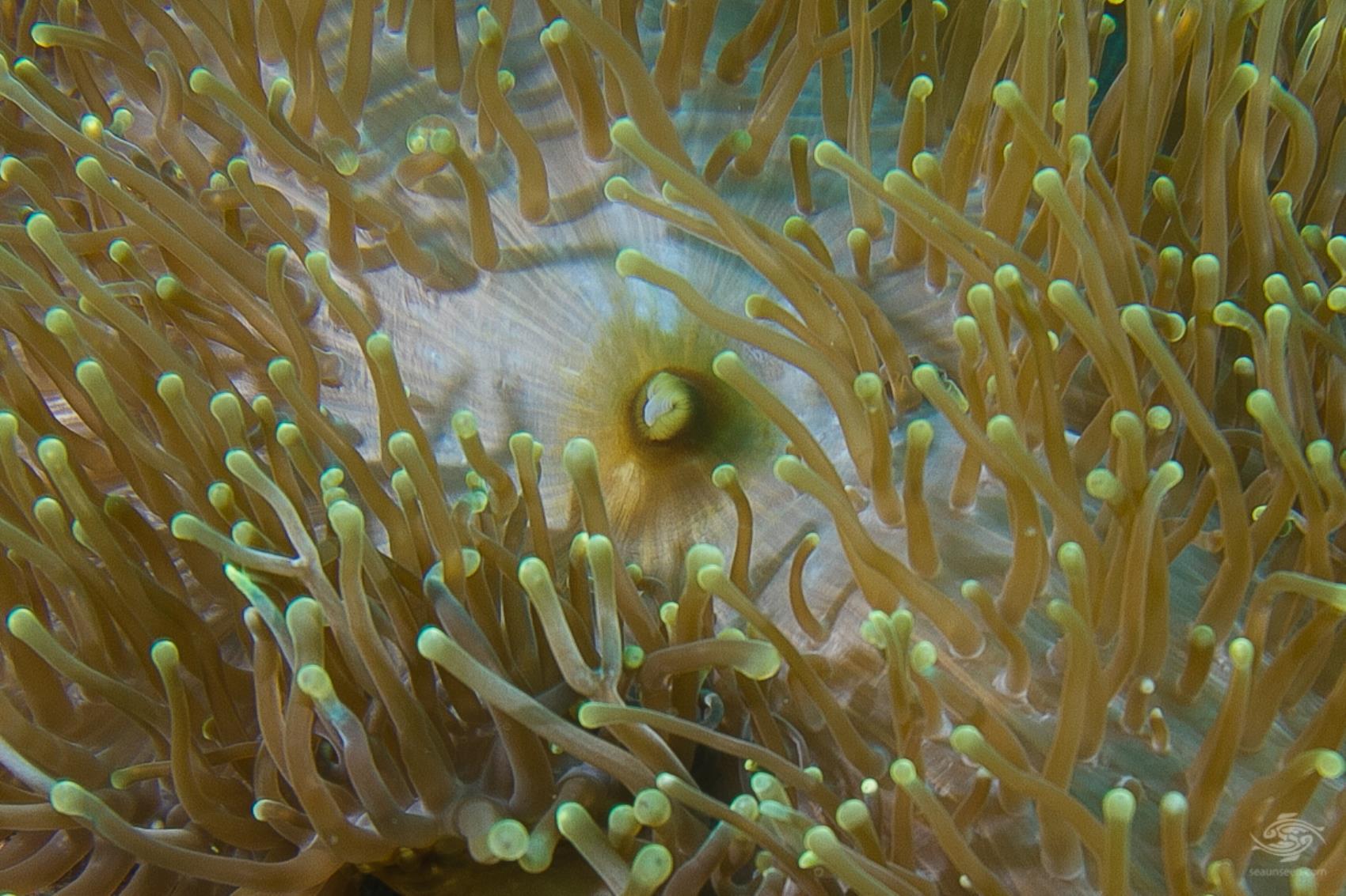 magnificent sea anemone, Heteractis magnifica